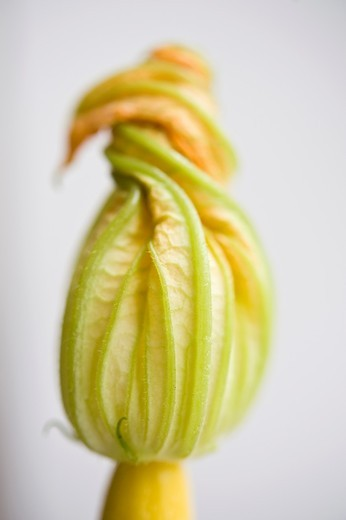yellow zucchini flower : Stock Photo