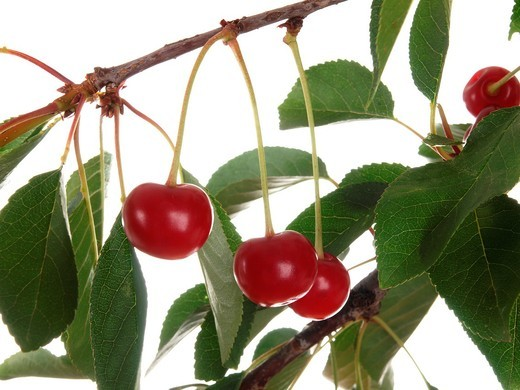 Beautiful Fresh Sour Cherries on Branch isolated on white background : Stock Photo