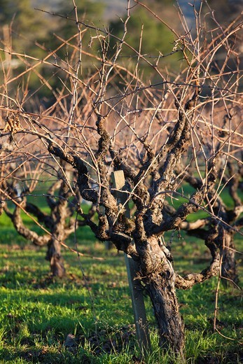Stock Photo: 1566-829394 USA, California, Northern California, North Coast, Ukiah, vineyard in winter, late afternoon
