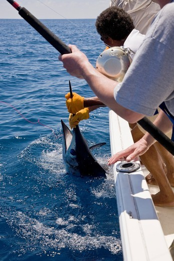 Sport fishing in Drake Bay, Costa Rica  Hauling in a Blue Marlin Makaira nigricans : Stock Photo