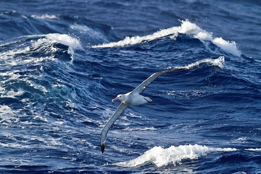 Young wandering albatross Diomedea exulans on the wing in the Drake Passage between the tip of South America and the Antarctic Peninsula, Southern Ocean. Young wandering albatross Diomedea exulans on the wing in the Drake Passage between the tip of South America and the Antarctic Peninsula, Southern Ocean  MORE INFO The Wandering Albatross has the largest wingspan of any living bird, with the average wingspan being 3 1 meters 10 2 ft  The longest-winged examples verified have been about 3 7 m 12 : Stock Photo