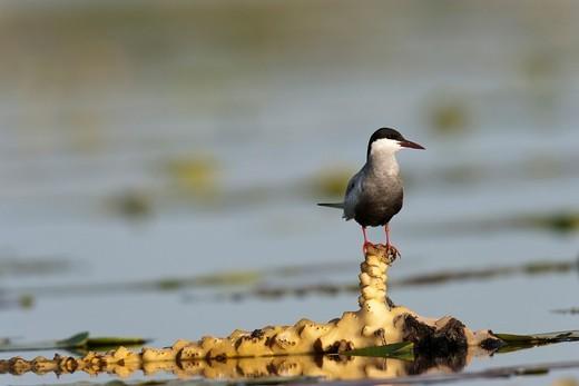 Stock Photo: 1566-831075 Whiskered Tern or Marsh Tern chlidonias hybridus in the Danube Delta Europe, Eastern Europe, Romania, Danube Delta