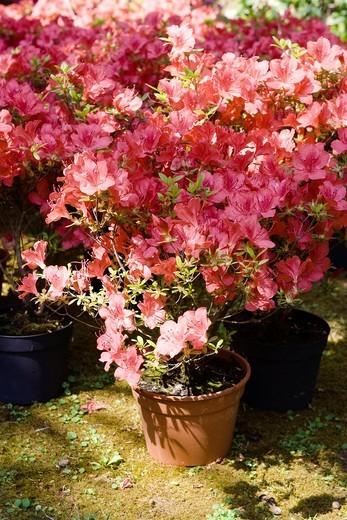 Stock Photo: 1566-831698 Azalea plant