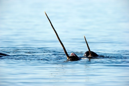 Stock Photo: 1566-833927 Narwhals showing tusks above water Monodon monoceros Baffin Island, Nunavut, Canada