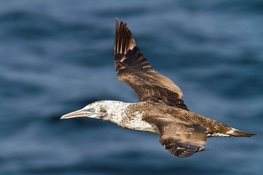 Stock Photo: 1566-835008 Young northern gannet Morus bassanus in flight near Ile des Oiseaux Bird Island in the Parc National du Delta du Saloum, Senegal, North Atlantic Ocean. Young northern gannet Morus bassanus in flight near Ile des Oiseaux Bird Island in the Parc National du Delta du Saloum, Senegal, North Atlantic Ocean  MORE INFO Young northern gannets are dark brown in their first year and gradually acquire more white in subsequent seasons, finally reaching maturity after five years