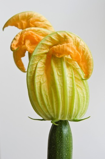 Stock Photo: 1566-836334 Green zucchini flower