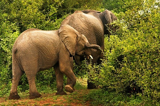 Elephant (Loxodonta africana), Chobe National Park, Botswana : Stock Photo