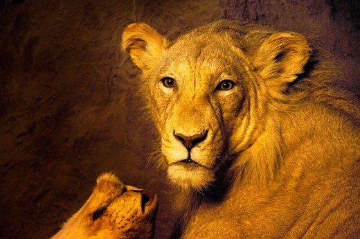 Stock Photo: 1566-837790 Lioness, Gaborone National Museum, Botswana