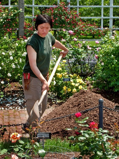 An Asian American woman uniformed gardener shovels compost in the Cranford Rose Garden of the Brooklyn NY Botanic Garden : Stock Photo