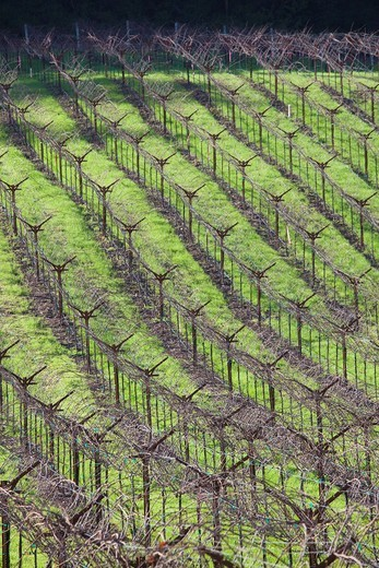 USA, California, Northern California, Napa Valley Wine Country, Calistoga, vineyards in winter : Stock Photo