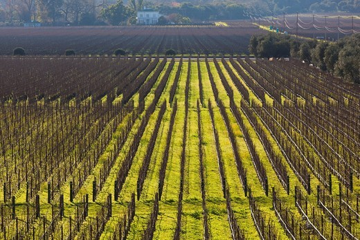 USA, California, Northern California, Napa Valley Wine Country, Oakville, vineyard in winter : Stock Photo