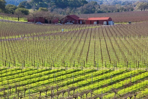 USA, California, Northern California, Napa Valley Wine Country, Yountville, vineyards in winter : Stock Photo