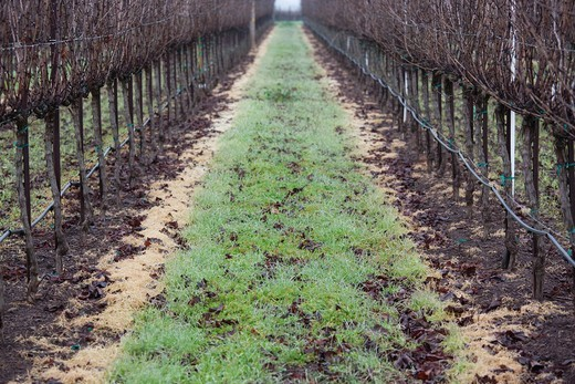 Stock Photo: 1566-842051 USA, California, Northern California, Sonoma Wine Country, Kenwood, vineyard in fog