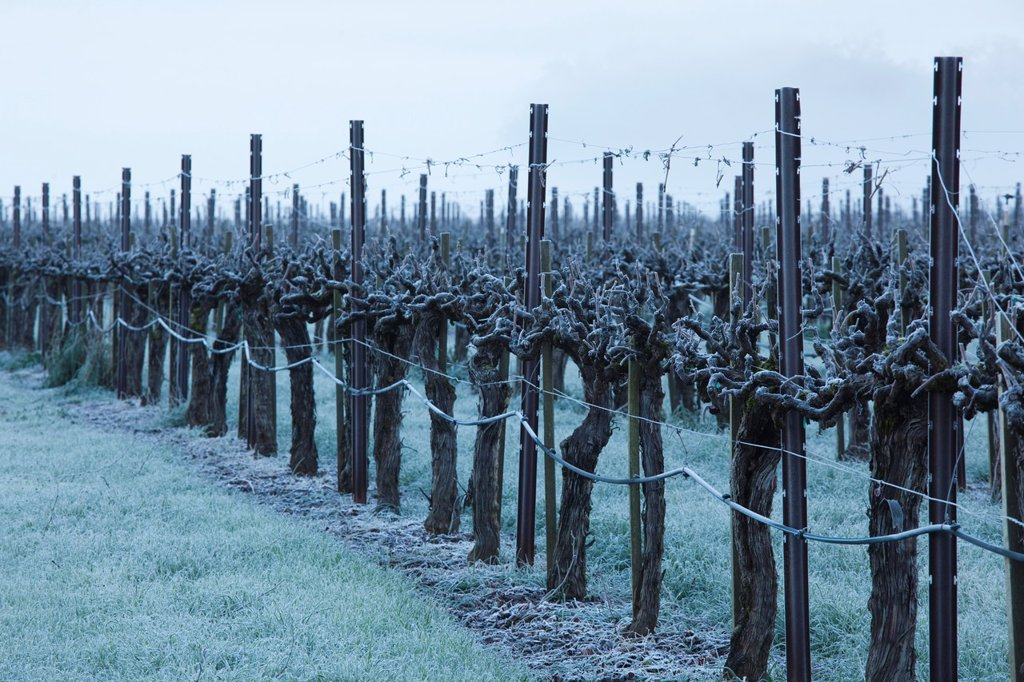 Stock Photo: 1566-842175 USA, California, Northern California, North Coast, Ukiah, vineyard in winter, foggy dawn