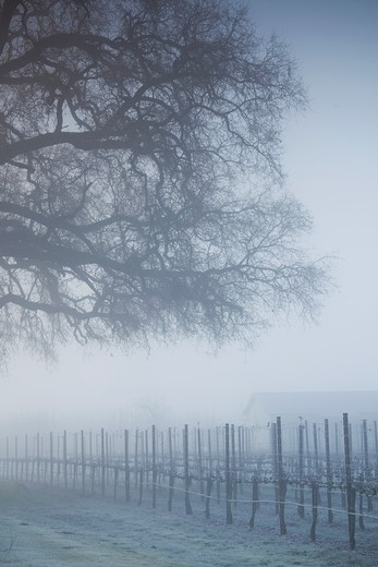 USA, California, Northern California, North Coast, Ukiah, vineyard in winter, foggy dawn : Stock Photo