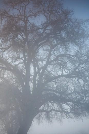 Stock Photo: 1566-842180 USA, California, Northern California, North Coast, Ukiah, tree in fog, winter