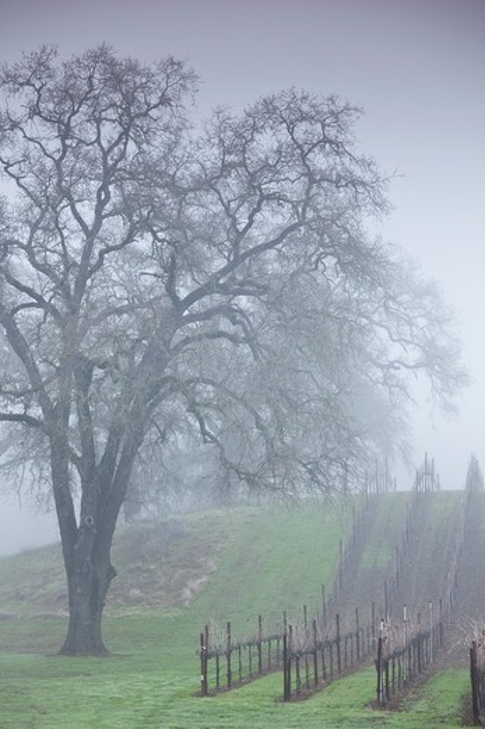 USA, California, Northern California, North Coast, Ukiah, vineyard in winter, foggy dawn : Stock Photo