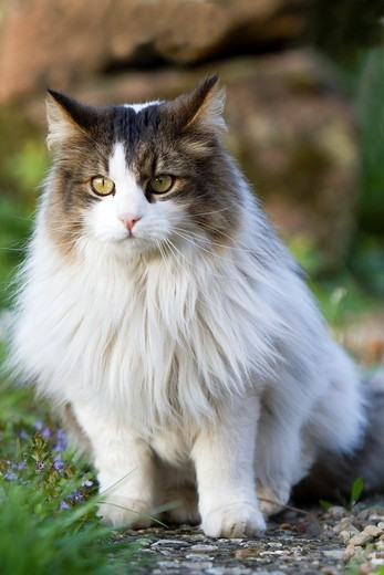 Stock Photo: 1566-842364 Domestic cat, Bas-Rhin, France