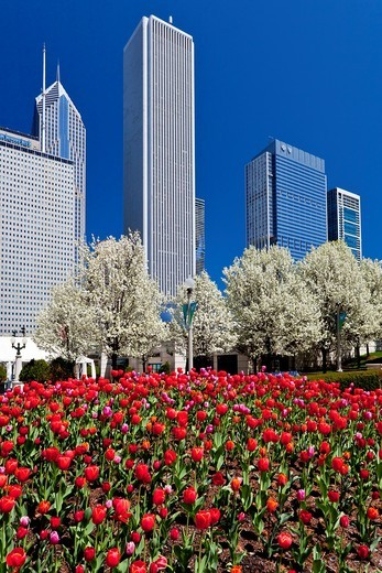 Spring tulip beds with city skyline buildings in Millenium Park in downtown Chicago, Illinois, USA : Stock Photo