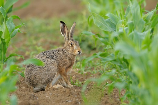 European brown hare in maize field, Lepus europaeus, Hessen, Germany, Europe : Stock Photo