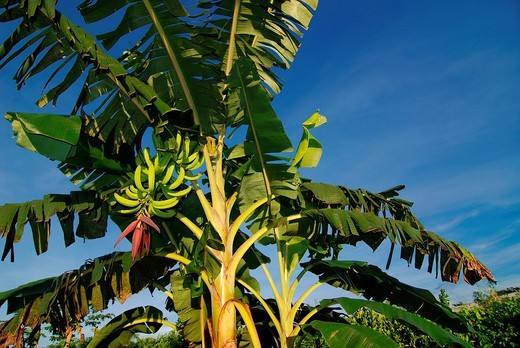 Banana tree with leaves, stem, fruits  Rio Branco, AC, 2011  Plant 3 m high : Stock Photo