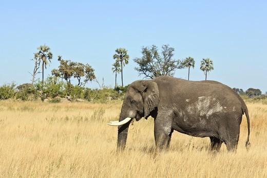 A single african elephant (Loxodonta africana) feeding on some grass, Botswana, Africa : Stock Photo