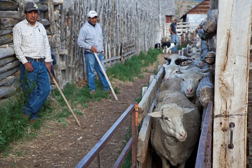 Ely, Nevada - Hank Vogler´s Need More Sheep Company raises sheep in north Spring Valley, with permits to graze them on BLM and Forest Service land  Peruvian sheepherders prepare to move sheep into a truck to send them to market  Nevada ranchers are opposi. Ely, Nevada - Hank Vogler´s Need More Sheep Company raises sheep in north Spring Valley, with permits to graze them on BLM and Forest Service land  Peruvian sheepherders prepare to move sheep into a truck to send them to market  Nevada rancher : Stock Photo