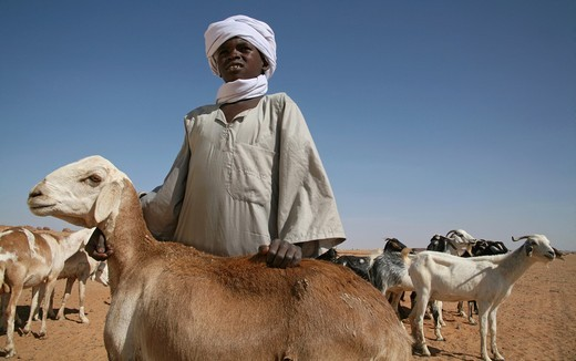 livestock in Chad : Stock Photo