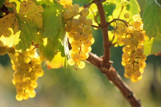 The bunch of grapes in the evening sun on the foothills of Male Karpaty, Slovakia : Stock Photo