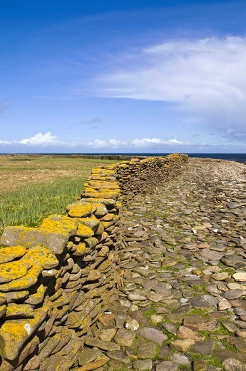 Stock Photo: 1566-851252 Brides Ness NORTH RONALDSAY ORKNEY Stone wall which encircles island keeps sheep off the land and on the shore