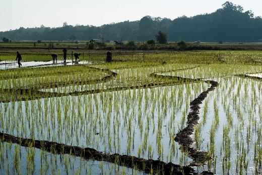 Padi Field of Kampong Skudup, Kuching ,Sarawak, Malaysia : Stock Photo