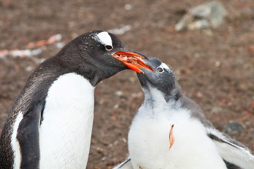Stock Photo: 1566-852071 Gentoo penguin Pygoscelis papua adult feeding chick at Hannah Point on Livingston Island, Antarctica, Southern Ocean. Gentoo penguin Pygoscelis papua adult feeding chick at Hannah Point on Livingston Island, Antarctica, Southern Ocean  MORE INFO The gentoo penguin is the third largest of all penguins worldwide, with adult gentoos reaching a height of 51 to 90 cm 20-36 in There are an estimated 80,000 breeding gentoo penguin pairs in the Antarctic peninsula area with a total population estimate o