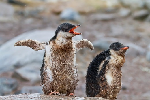 Gentoo penguin Pygoscelis papua chicks covered with mud and guano on Cuverville Island, Antarctica, Southern Ocean. Gentoo penguin Pygoscelis papua chicks covered with mud and guano on Cuverville Island, Antarctica, Southern Ocean  MORE INFO The gentoo penguin is the third largest of all penguins worldwide, with adult gentoos reaching a height of 51 to 90 cm 20-36 in There are an estimated 80,000 breeding gentoo penguin pairs in the Antarctic peninsula area with a total population estimate of ar : Stock Photo