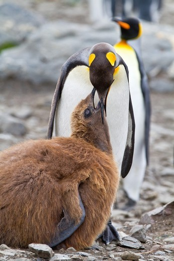 King penguin Aptenodytes patagonicus adult feeding chick at breeding and nesting colony at St  Andrews Bay on South Georgia, Southern Ocean. King penguin Aptenodytes patagonicus adult feeding chick at breeding and nesting colony at St  Andrews Bay on South Georgia, Southern Ocean  MORE INFO The king penguin is the second largest species of penguin at about 90 cm 3 ft tall and weighing 11 to 16 kg 24 to 35 lb, second only to the emperor penguin  The total population is estimated to be 2 23 millio : Stock Photo