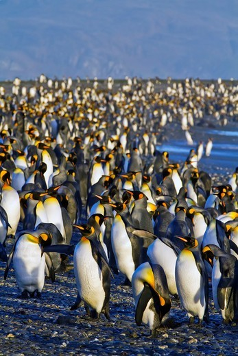 King penguin Aptenodytes patagonicus breeding and nesting colony at Salisbury Plains in the Bay of Isles, South Georgia, Southern Ocean. King penguin Aptenodytes patagonicus breeding and nesting colony at Salisbury Plains in the Bay of Isles, South Georgia, Southern Ocean  MORE INFO The king penguin is the second largest species of penguin at about 90 cm 3 ft tall and weighing 11 to 16 kg 24 to 35 lb, second only to the emperor penguin  The total population is estimated to be 2 23 million pairs  : Stock Photo