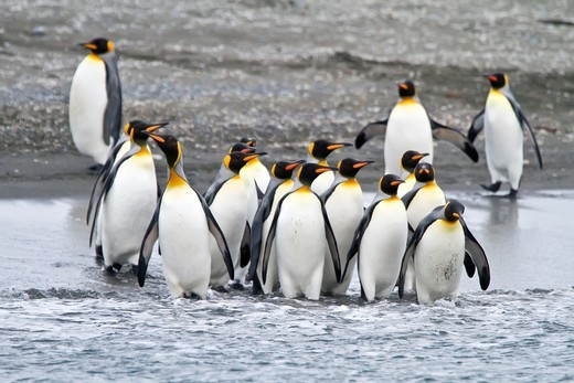 Stock Photo: 1566-852470 King penguin Aptenodytes patagonicus breeding and nesting colony on South Georgia Island, Southern Ocean. King penguin Aptenodytes patagonicus breeding and nesting colony on South Georgia Island, Southern Ocean  MORE INFO The king penguin is the second largest species of penguin at about 90 cm 3 ft tall and weighing 11 to 16 kg 24 to 35 lb, second only to the emperor penguin  The total population is estimated to be 2 23 million pairs and is increasing  The king penguin was described in 1778 by E