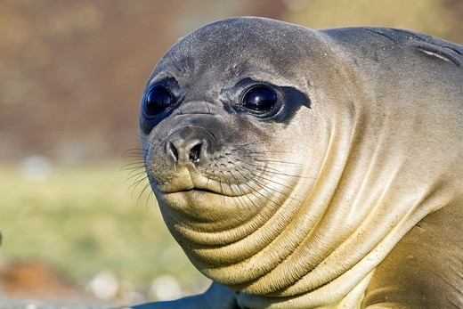 Stock Photo: 1566-852522 Southern elephant seal Mirounga leonina pup often called ´weaners´ once their mothers stop nursing them on South Georgia Island in the Southern Ocean. Southern elephant seal Mirounga leonina pup often called ´weaners´ once their mothers stop nursing them on South Georgia Island in the Southern Ocean  MORE INFO The southern elephant seal is not only the most massive pinniped but also the largest member of the order Carnivora to ever live  The world´s population is approximately 650,000 animals