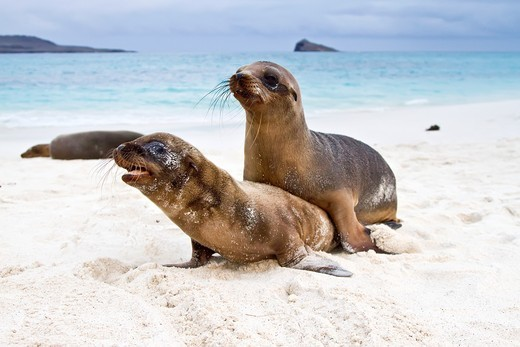 Galapagos sea lion Zalophus wollebaeki pup in the Galapagos Island Archipelago, Ecuador. Galapagos sea lion Zalophus wollebaeki pup in the Galapagos Island Archipelago, Ecuador  MORE INFO The population of this sea lion fluctuates between 20,000 and 50,000 individuals within the Galapagos, depending on food resources and events such as El Nino : Stock Photo