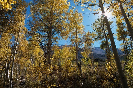 Grove of quaking aspen trees Populus tremuloides near Sherwin Creek in the Eastern Sierra, Mammoth Lakes region, California : Stock Photo