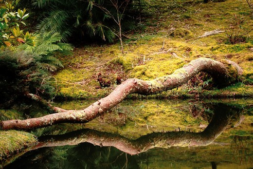 Stock Photo: 1566-853362 A log reflected on the surface of a pond in Terra Nostra Park Parque Terra Nostra  Furnas, Sao Miguel island, Azores, Portugal