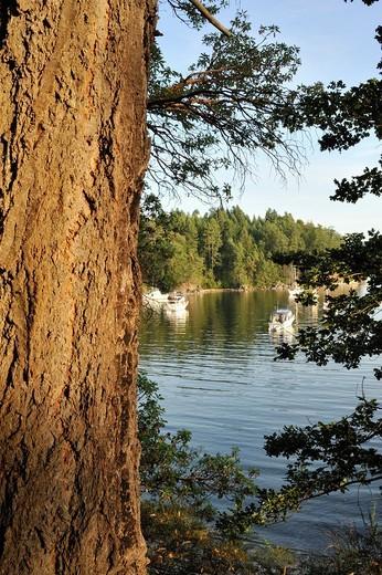 Stock Photo: 1566-853691 Douglas fir Pseudotsuga menziesii tree and anchored boats, Tent Island, Gulf Islands, British Columbia, Canada