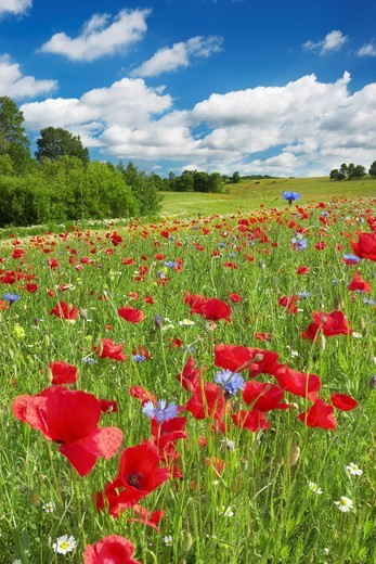 Stock Photo: 1566-857429 Meadow with blooming poppies near Slupsk, Poland, Europe