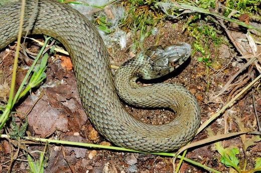 Natrix natrix snake, Mogarraz, Las Batuecas Sierra de Francia Natural Park, Salamanca, Castilla y Leon, Spain : Stock Photo
