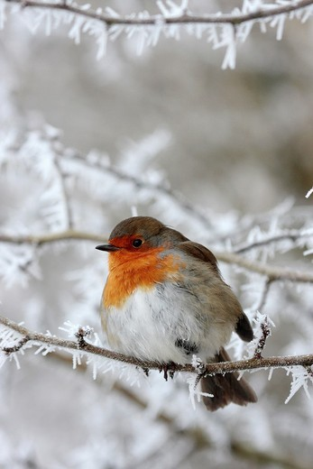 Stock Photo: 1566-858371 Robin Erithacus rubecula in winter