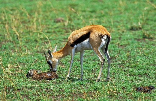 Thomson´s Gazelle, gazella thomsoni, Female with Newborn Fawn, Masai Mara Park in Kenya : Stock Photo