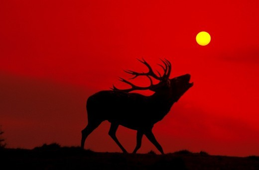 Stock Photo: 1566-859690 Red Deer, cervus elaphus, Male Roaring at Sunset