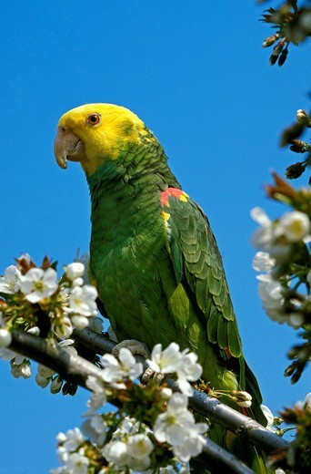 Yellow Headed Parrot, amazona oratrix, Adult standing on Branch : Stock Photo