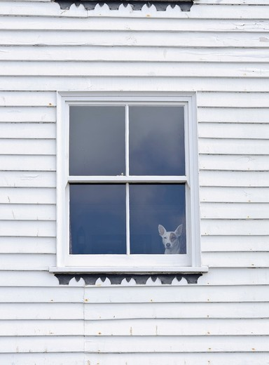 Small dog looking out of window in white painted woodframe house, Hastings, East Sussex, England, UK : Stock Photo