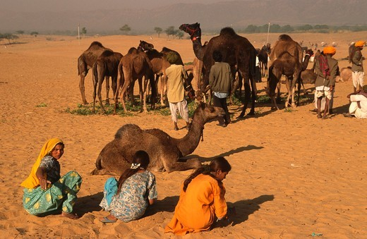India, Rajasthan, Pushkar, Camel Fair, camels, people, : Stock Photo