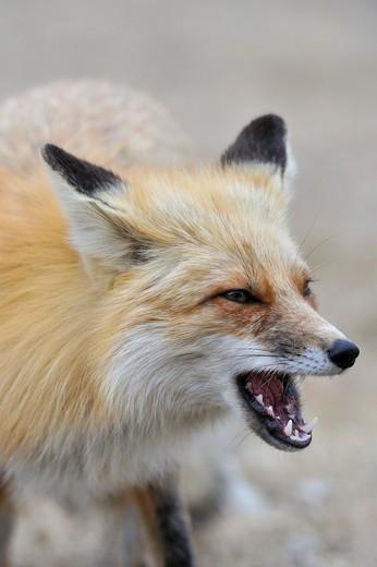 Stock Photo: 1566-861622 Red fox Vulpes vulpes